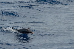 Dolphin while jumping in the deep blue sea Royalty Free Stock Images