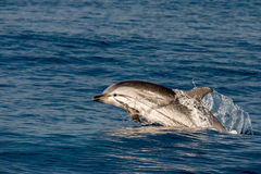 Dolphin while jumping in the deep blue sea. Striped dolphin jumping outside the sea stock images