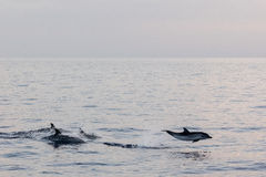 Dolphin while jumping in the deep blue sea at sunset. Striped dolphin jumping outside the sea at sunset stock image