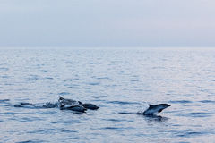 Dolphin while jumping in the deep blue sea at sunset. Striped dolphin jumping outside the sea at sunset stock photo