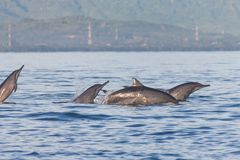 Dolphin Jumping in Dolphin Beach Lovina, Bali stock images