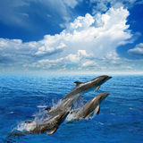 Dolphin jumping. Dolphins jumping in clear blue sea, white clouds in sky stock image