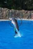 Dolphin jumping through hoop. Dolphin jumping out of the water through a hoop a person is holding stock photos