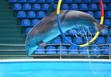 Dolphin jumping through a hoop. In a blue pool Royalty Free Stock Photography
