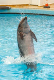 Dolphin jumping through a hoop. In the pool stock photos