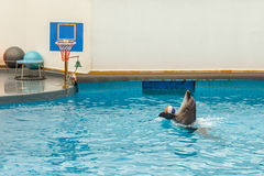 Dolphin jumping through a hoop Stock Image