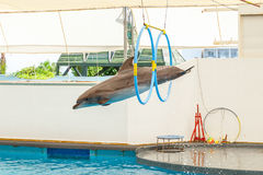 Dolphin jumping through a hoop Royalty Free Stock Photography