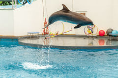 Dolphin jumping through a hoop Stock Photography