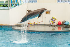 Dolphin jumping through a hoop stock images