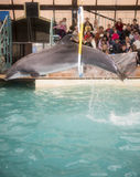 Dolphin jumping through hoops at the Rostov dolphinarium Stock Image