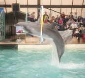 Dolphin jumping through hoops at the Rostov dolphinarium. Rostov-on-Don, Russia- February 1, 2015: Dolphin jumping through hoops at the Rostov dolphinarium stock photo