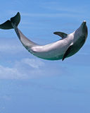 Dolphin Jumping for Joy. A Bottlenosed dolphin mid-air, jumping for the joy of it. Text space below stock photos