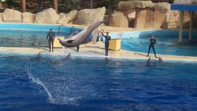 A dolphin jumping. Jump of dolphin in Marineland, Antibes, south of France Royalty Free Stock Image