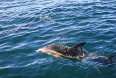 Dolphin in Kaikoura bay, New Zealand. Dolphin jumping in Kaikoura bay, New Zealand royalty free stock photography