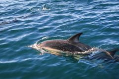 Dolphin in Kaikoura bay, New Zealand. Dolphin jumping in Kaikoura bay, New Zealand stock image