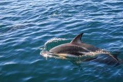 Dolphin in Kaikoura bay, New Zealand royalty free stock image