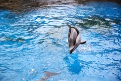 Dolphin jumping moment. Dolphin jumping out of ocean water royalty free stock image