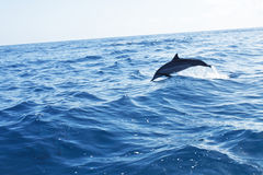 Dolphin jumping in the ocean Stock Image