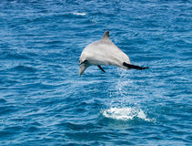 Dolphin jumping in the ocean Royalty Free Stock Photography