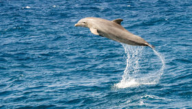 Dolphin jumping in the ocean Royalty Free Stock Photo