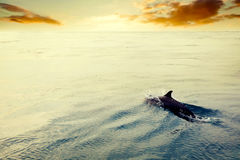 Dolphin jumping in the ocean at sunset. Maldives. Indian Ocean stock photo