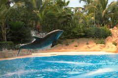 A dolphin is jumping from out the blue water near the beach. Tropical, lagoon, travel. Wildlife near the beach of a blue lagoon. A funny dolphin is jumping stock image