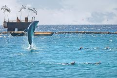 Dolphin jumping out of the sea near the people. Snorkeling in the Red Sea, Dolphin Reef, Israel stock photos