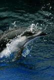 Dolphin jumping out of water. Dolphin in motion, jumping out of water with a splash royalty free stock image
