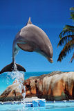 Dolphin jumping out of the water royalty free stock photo