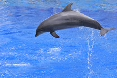 Dolphin jumping out of water. Profile bottlenose dolphins (Tursiops truncatus) jumping up out of water stock photo
