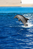 Dolphin jumping. Out of the water Stock Image