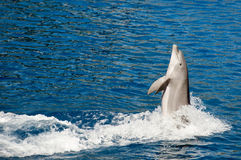 Dolphin jumping. Out of the water royalty free stock photos