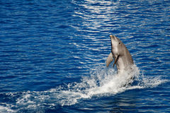 Dolphin jumping. Out of the water stock photos