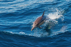 Dolphin jumping Stock Image