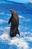 Dolphin Jumping Out of Water Stock Image