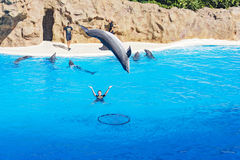 Dolphin jumping out of the water and dives straight into the hoop Royalty Free Stock Photo