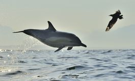 Dolphin jumping out from the water. Dolphin, swimming in the ocean. Dolphin swim and jumping out from the water. The Long-beaked common dolphin scientific name royalty free stock image