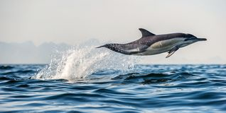 Dolphin jumping out of water. The Long-beaked common dolphin. stock photo