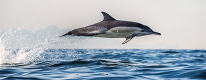 Dolphin jumping out of water. The Long-beaked common dolphin. Dolphin in the ocean. Dolphins swim and jumping out of water. The Long-beaked common dolphin stock photos