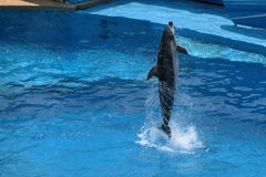 A dolphin is jumping out from water at Ocean Park. A dolphin is jumping out from water at Ocean Threater at Ocean Park Hong Kong royalty free stock images