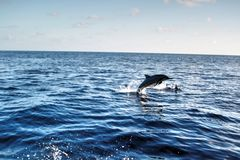 Dolphin jumping out of the water Royalty Free Stock Image