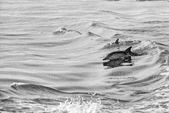 Dolphin jumping outside the ocean. Dolphin jumping outside the sea in black and white royalty free stock image