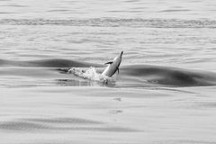 Dolphin jumping outside the ocean. Dolphin jumping outside the sea in black and white stock photos