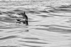 Dolphin jumping outside the ocean. Dolphin jumping outside the sea in black and white stock photography