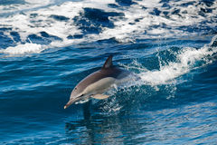 Dolphin jumping outside the sea royalty free stock image