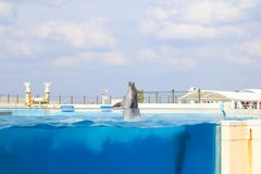 Dolphin jumping and performing in a pool. Okinawa, Japan royalty free stock images