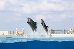 Dolphin jumping and performing in a pool. Okinawa, Japan stock photo