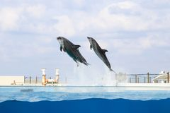 Dolphin jumping and performing in a pool. Okinawa, Japan stock photography