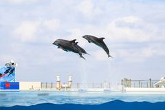 Dolphin jumping and performing in a pool. Okinawa, Japan stock image