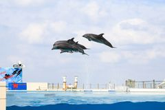 Dolphin jumping and performing in a pool. Okinawa, Japan royalty free stock photo